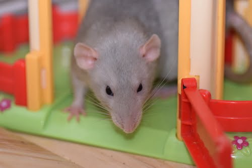 a rat is one of the lowest maintenance pets for apartments
