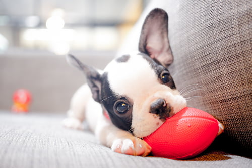 puppy scams often feature french bulldogs