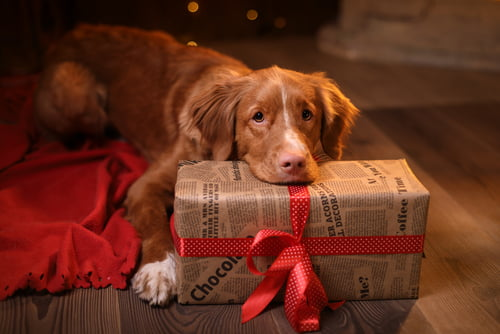 Pets as Christmas gifts like this dog need lots of care