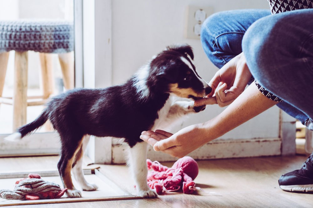 puppy training tips help you control your daschund