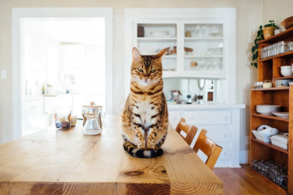 pet proofing your home will stop your cat getting up on the table