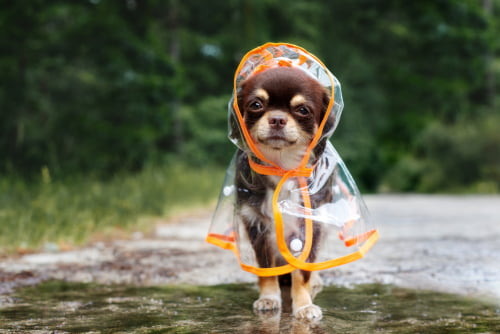 Dress up Your Pet Day is an excuse for this chihuahua to don a raincoat