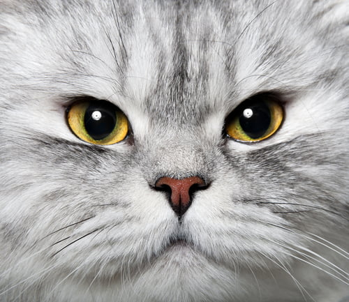 routine pet care for this grey cat makes it happy