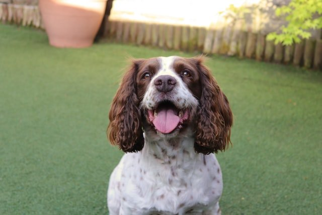 springer spaniels are a very kind dog breed