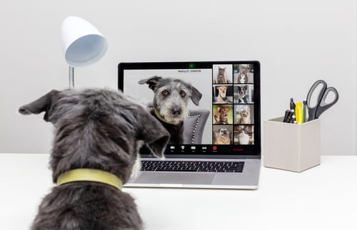dog using laptop zoom call technology