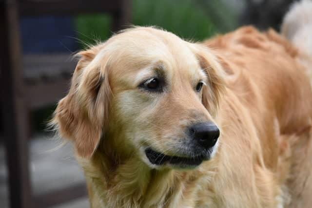 golden retriever kindest dog breed