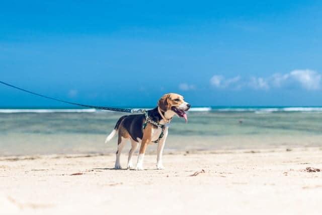beagle on beach kindest dog breeds feature image