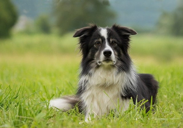 border collies are clever and kind. they are the 2nd most popular dog breed in new zealand