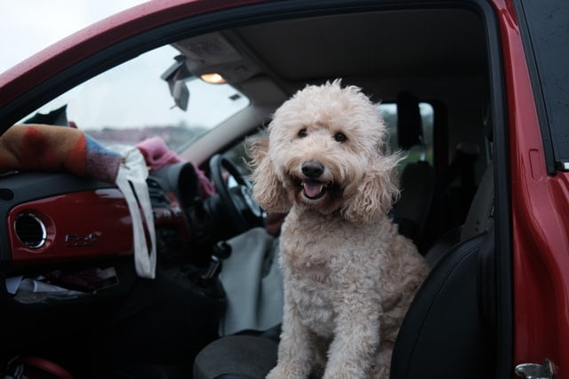 this white poodle is ready for pet travel and is sitting in the car passenger seat for a road trip