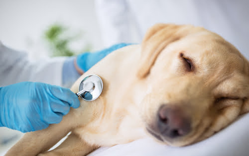 This Labrador is being put to sleep to end the suffering of terminal illness.