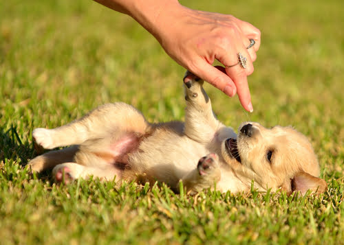 golden retriever puppy playing game with owner in grass