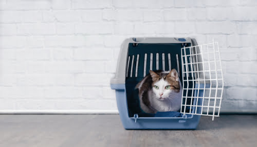 pet tabby cat in crate before flying