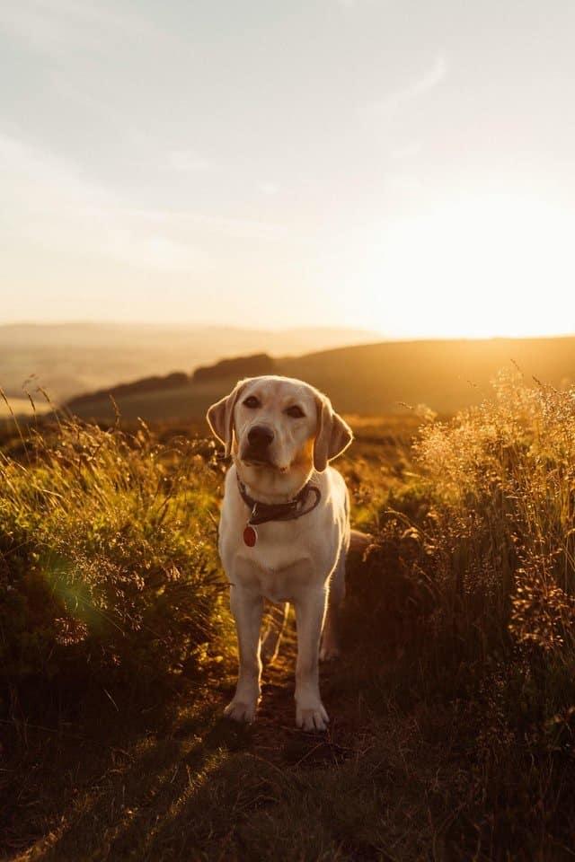 yellow labrador in golden sunlight