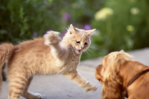 spaniel dog fighting with ginger cat