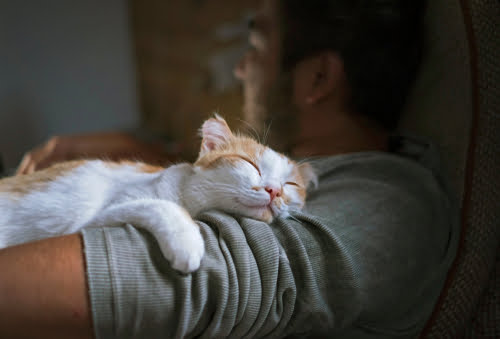 content ginger and white cat lying with man while it purrs
