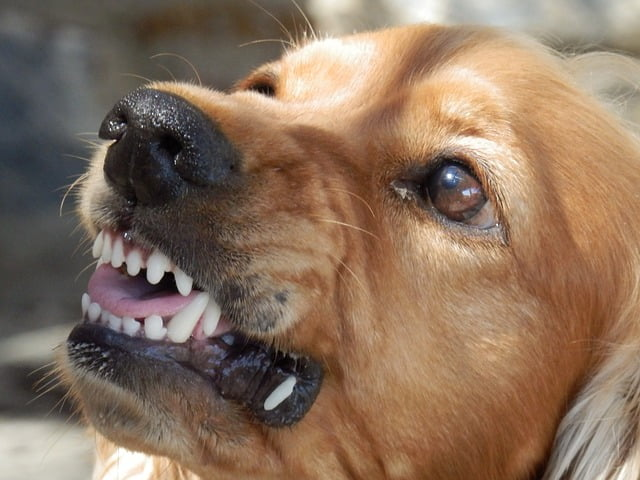 a dog snarling like this could bite