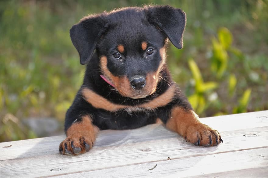 This pup goes to puppy school to learn obedience and how to read the body language of other dogs in a controlled environment. .