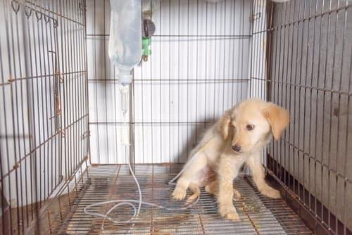 puppy at vet with parvo symptoms
