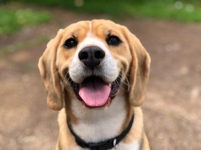 close up shot of Beagle face