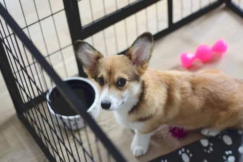 crate training a corgi puppy