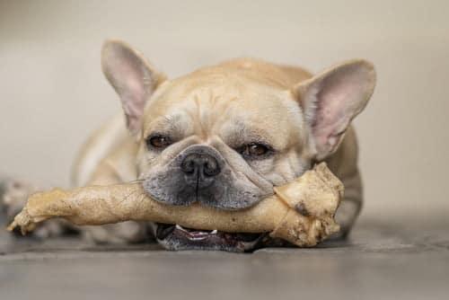 french bulldog chewing rawhide