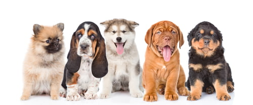 All these puppies are purebred dogs.