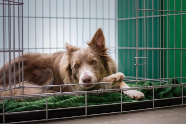 if you crate train a puppy correctly, they will feel relaxed in their crate like this brown and white collie