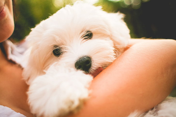 Maltese are devoted and loving dogs.