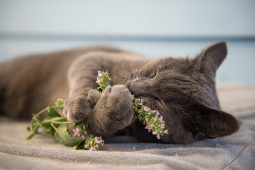 Why do cats love catnip - just ask this feline!