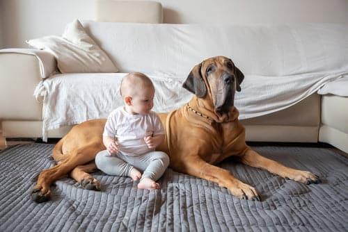 big dog with new baby sitting on blanket