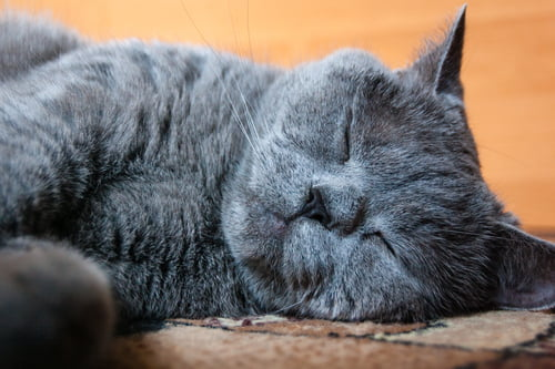 grey cat lying down - animal CPR should only be performed if there is no heartbeat or breathing