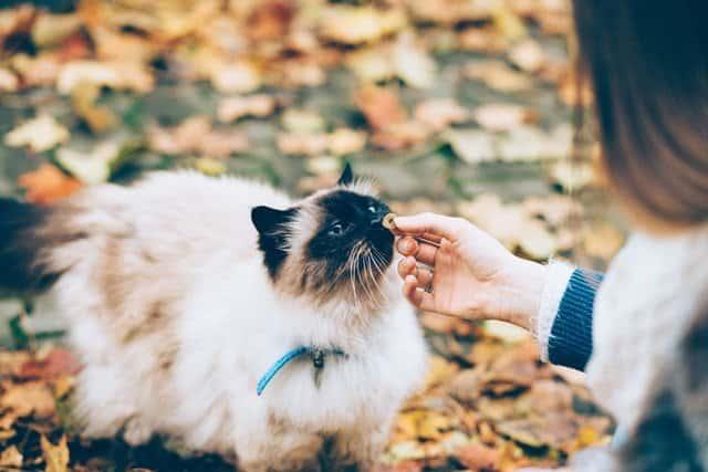 woman feeding fluffy white cat homemade cat treats