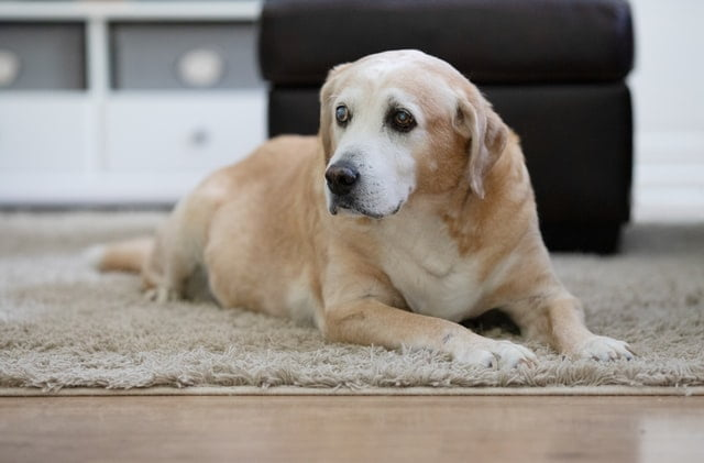old labrador on rug - it can be hard to grieve the loss of an old dog when they are put to sleep