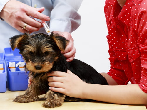 yorkie puppy being vaccinated at vet