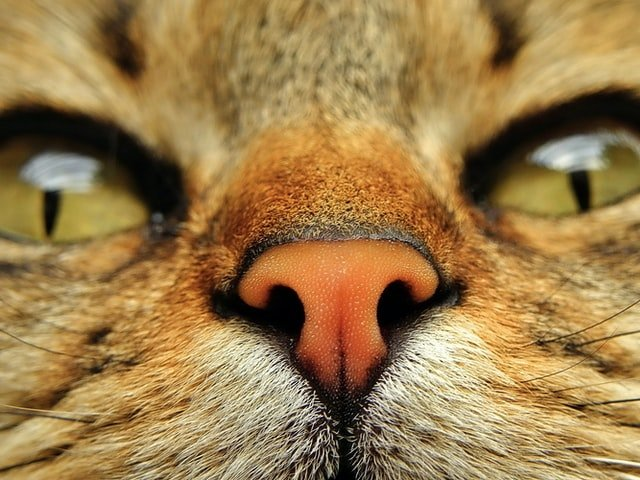 close up of ginger cat's nose to enjoy scents they like!