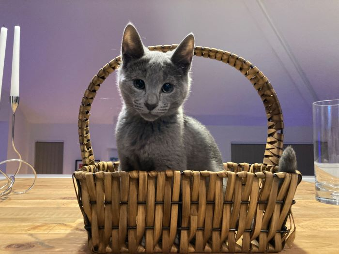 Steve the Russian Blue cat sits in a basket