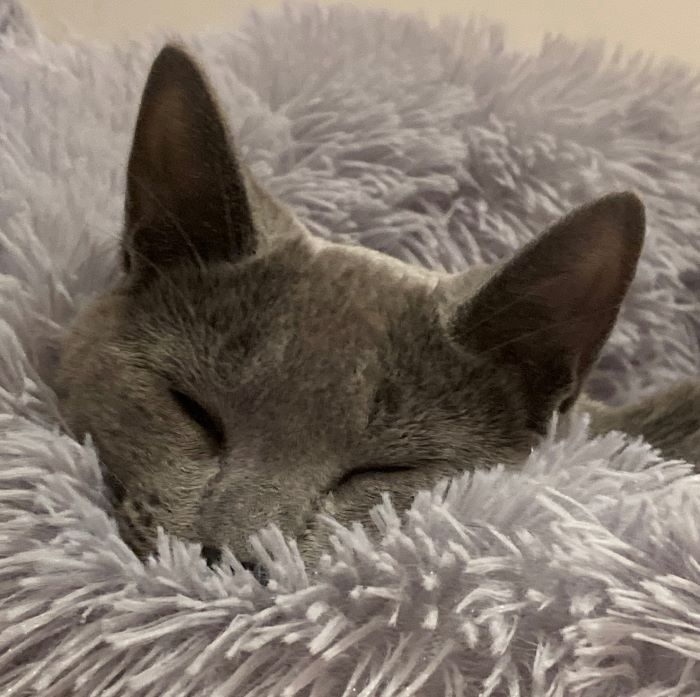 Steve the Russian Blue cat staying in bed while he's sick